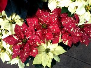 poinsetta close up botanical garden 3